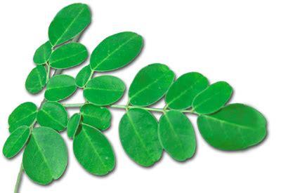 Research paper on moringa oleifera plants